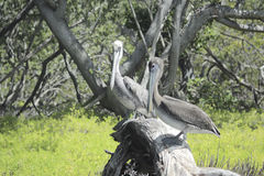 Pelicans resting on a branch. Stock Photography