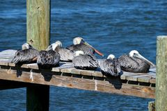 Pelicans resting on dock. Pelicans on river dock at Florida, USA stock photography