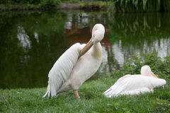 Pelicans. Resting by a lake royalty free stock photos