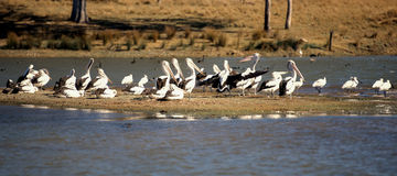 Pelicans resting by the lake Royalty Free Stock Photography