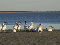 Pelicans. Resting by Makgadigadi Salt Pans, Botswana Royalty Free Stock Photo
