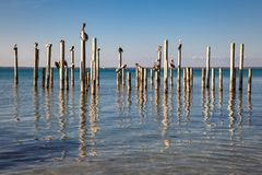 Pelicans Resting on old Pilings Stock Images