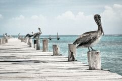 Pelicans Resting on Pier Stock Photos
