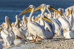 Pelicans resting. By a reservoir - Israel stock image