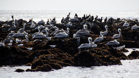 Pelicans resting on rocks near the ocean Royalty Free Stock Image
