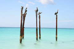 Pelicans resting on wooden poles, Aruba, Caribbean. Five pelicans rest on wooden poles which are standing in shallow water on the edge of a beautiful Caribbean Stock Photo