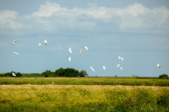 Pelicans on a rice field Stock Photo