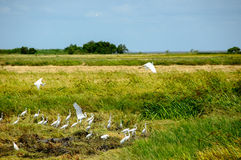 Pelicans on a rice field Royalty Free Stock Photo