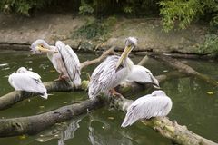 Pelicans on river Stock Photos