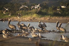 Pelicans in the river. A group of pelicans in a river at the mexican pacific coast stock image