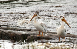 Pelicans in the river. Pelicans by seven sisters dam waiting for a meal to swim by Stock Image