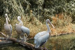 Pelicans on the river. Wildlife. Waterbird. Pelicans on the river royalty free stock images