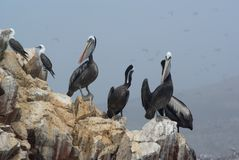 Pelicans on a rock Royalty Free Stock Images