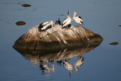 Pelicans on rock Royalty Free Stock Photo