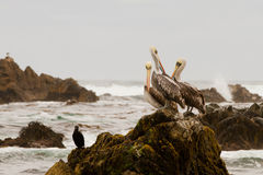Pelicans on rock Stock Image