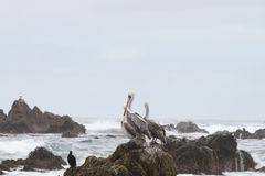 Pelicans on rock Royalty Free Stock Photography