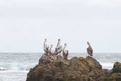Pelicans on rock Stock Photography