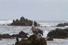 Pelicans on rock Stock Photo