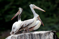 Pelicans on rock. Three Pelicans standing on rock and watching Stock Photos
