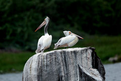Pelicans on rock. Two pelicans standing on rock and watching Royalty Free Stock Images