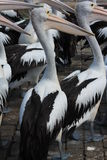 Pelicans on Rocks Stock Images