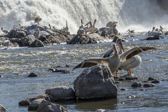 Pelicans. On rocks below a dam royalty free stock photography