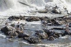 Pelicans. On rocks below a dam royalty free stock image