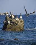 Pelicans on the rocks Royalty Free Stock Photo