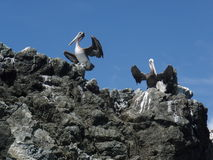 Pelicans on the rocks Stock Images