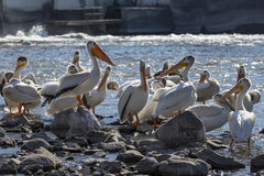 Pelicans. On rocks In a river royalty free stock photos