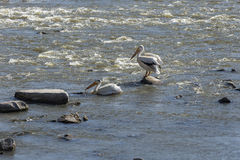 Pelicans. On rocks In a river royalty free stock images