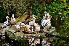Pelicans on rocks in water