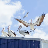 Pelicans. On a roof and in flight Royalty Free Stock Image