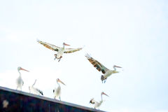 Pelicans. On a roof and in flight in a dreamlike scene Stock Image