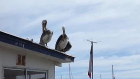 Pelicans on Roof stock footage