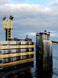 Pelicans Roosting. At the ferry dock on the St Johns River royalty free stock image