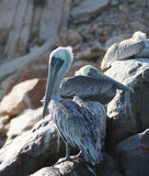 Pelicans roosting on Pelikan rock and boulders at Lands End in Cabo San Lucas Baja Mexico Stock Images