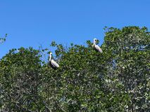 Pelicans roosting in a tree. With a blue sky background stock images