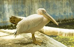 Pelicans. Rosy pelicans on the corner of water tank stock photos