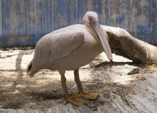 Pelicans. Rosy pelicans on the corner of water tank stock photography