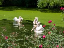 Pelicans in a rosy pond Stock Photos