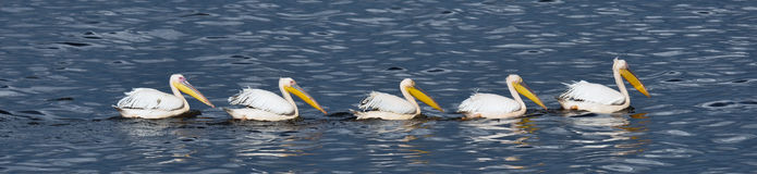 Pelicans in a row Royalty Free Stock Image