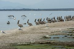 Pelicans on Salton Sea Shore royalty free stock photography