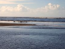 Pelicans on Sand Bar. Pelicans on ocean sand bar at low tide stock photography
