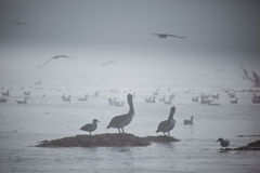 Pelicans on a sandbar in the fog Stock Photos