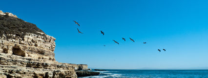 Pelicans, Santa Cruz Royalty Free Stock Photo