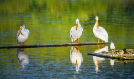 Pelicans at Scout Island Nature Center at Williams Lake. British Columbia Canada royalty free stock image