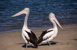Pelicans, Sea, Beach, Bird, Black Royalty Free Stock Photos