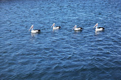 Pelicans in the sea. Four pelicans in a row on the river stock photo