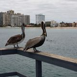 Pelicans at Sea Royalty Free Stock Images